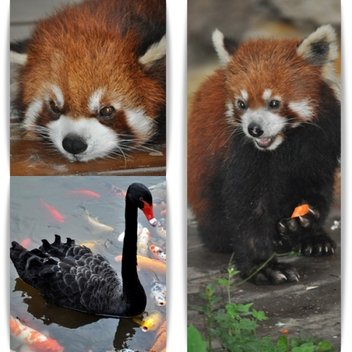 Röd panda samt svart svan